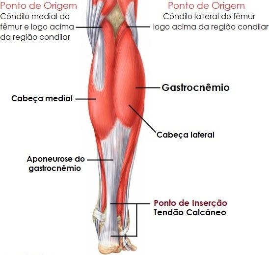 Anatomia do Gastrocnêmio – Instituto Fortius