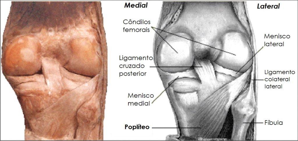 Moderno Colateral Medial Del Ligamento Anatomía Colección - Anatomía ...