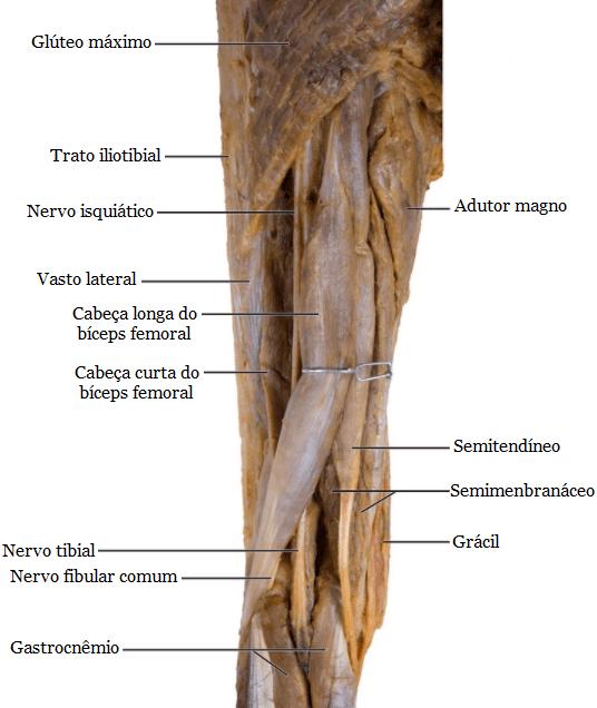 Anatomia da Cabeça Curta do Bíceps Femoral – Instituto Fortius