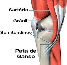 Visão medial do joelho - Instituto Fortius