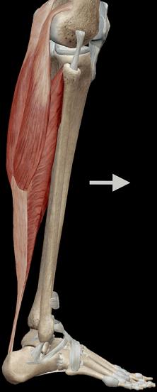 Controle da panturrilha sobre a dorsiflexão do tornozelo.