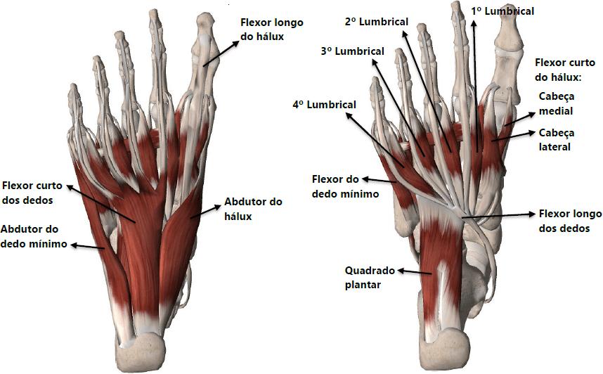Músculos intrínsecos e extrínsecos do pé.