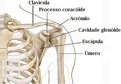 Estrutura óssea da anatomia do ombro.