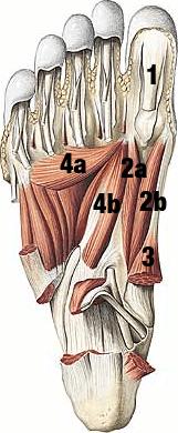 Biomecânica do hálux: Anatomia dos músculos da sola do pé.