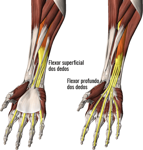 Músculos flexores dos dedos e do punho.